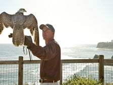 Falcon and falconer at Terranea Resort